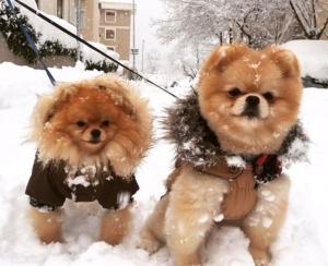 Dogs In Winter Wear 2018 Karma The Pom
